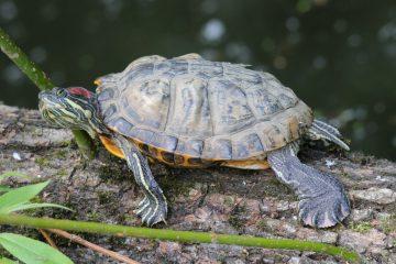 Почему не стоит выпускать черепах в водоемы?
