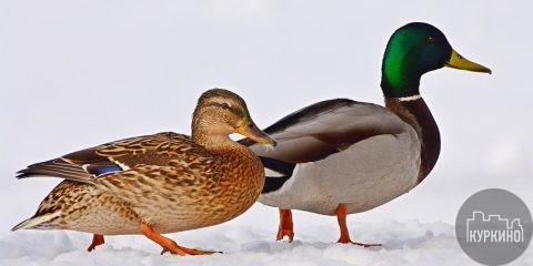 Зимний учет водоплавающих птиц в СЗАО