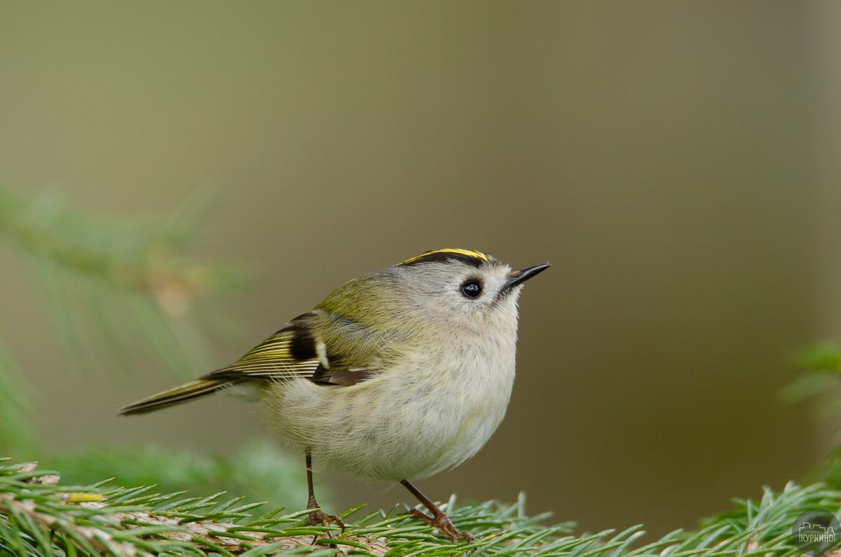 В Куркино обнаружили самую маленькую птицу России